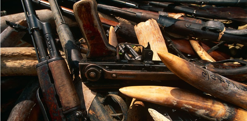 Confiscated gun weapon with illegal African elephant ivory tusks, Republic of Congo